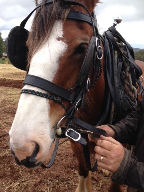 Mdldraughthorse2